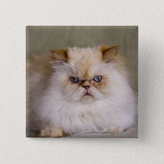 A mad, upset, reclining Flame Point Himalayan Button