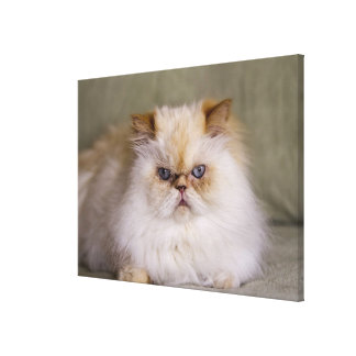 A mad, upset, reclining Flame Point Himalayan Canvas Print