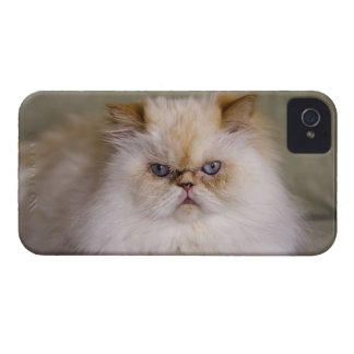 A mad, upset, reclining Flame Point Himalayan Case-Mate iPhone 4 Case