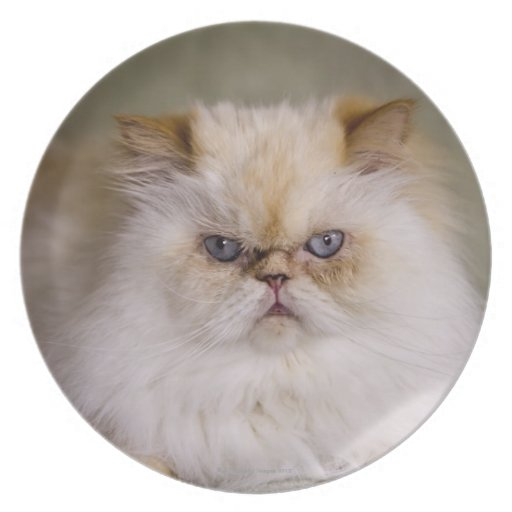A mad, upset, reclining Flame Point Himalayan Plates