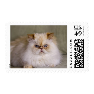 A mad, upset, reclining Flame Point Himalayan Postage