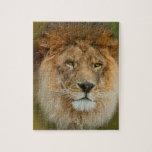 A Majestic lion Puzzles