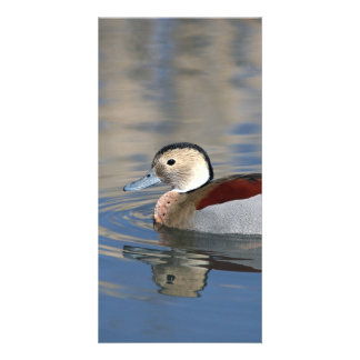 A Male Blue Billed Ringed Teal Swims in a pond Card