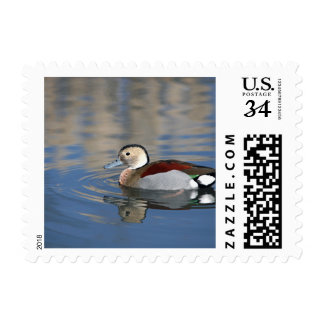 A Male Blue Billed Ringed Teal Swims in a pond Stamp