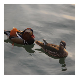 A Male Female pair of Mandrain Ducks Swimming Poster