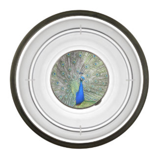 A Male Indian Peacock Fans it's tail Feathers Pet Bowl