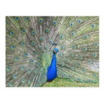 A Male Indian Peacock Fans it's tail Feathers Postcard