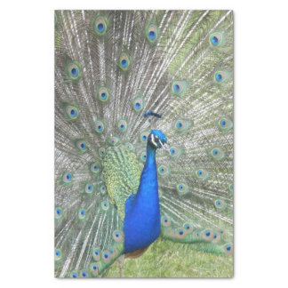 A Male Indian Peacock Fans it's tail Feathers Tissue Paper