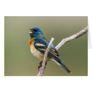 A Male Lazuli Bunting Songbird Singing Card