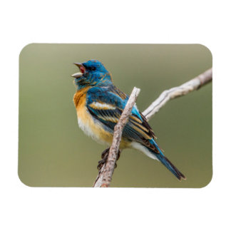 A Male Lazuli Bunting Songbird Singing Magnet
