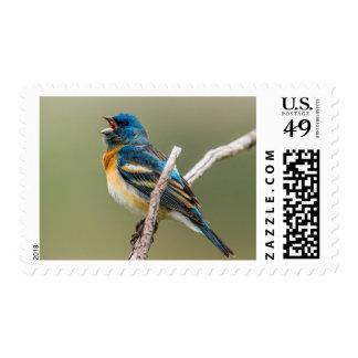 A Male Lazuli Bunting Songbird Singing Stamp