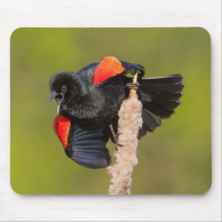 A Male Red-Winged Bird 2 Mouse Pad