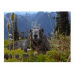 A marmot in Paradise in Mount Rainier National Par Postcard