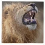 A mature male lion (Panthera leo) in the Savuti Ceramic Tile