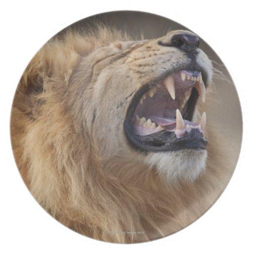 A mature male lion (Panthera leo) in the Savuti Dinner Plate