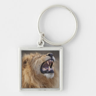 A mature male lion (Panthera leo) in the Savuti Silver-Colored Square Keychain