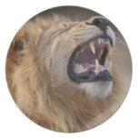 A mature male lion (Panthera leo) in the Savuti Melamine Plate