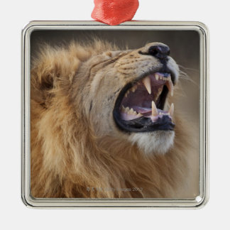 A mature male lion (Panthera leo) in the Savuti Square Metal Christmas Ornament