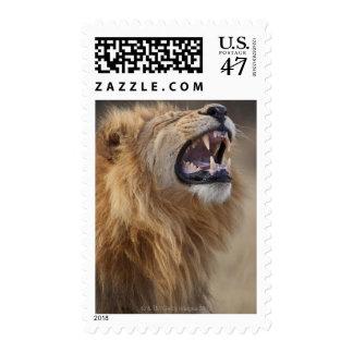 A mature male lion (Panthera leo) in the Savuti Postage
