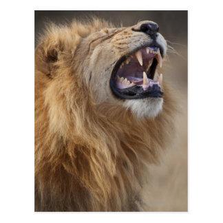 A mature male lion (Panthera leo) in the Savuti Post Card