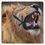 A mature male lion (Panthera leo) in the Savuti Square Wall Clock