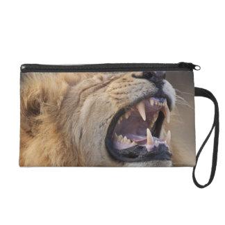 A mature male lion (Panthera leo) in the Savuti Wristlet Purse