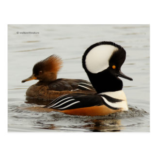 A Meeting of Hooded Mergansers Postcard