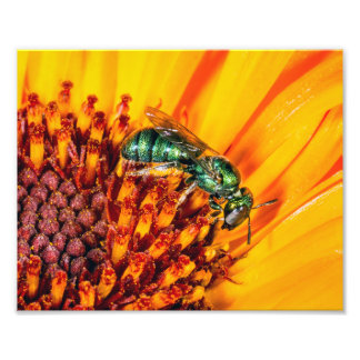 A Metallic Green Bee on an Orange Flower Photo Print