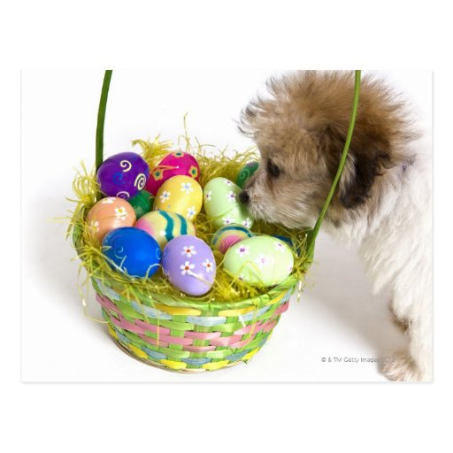 A mixed breed puppy sniffing at an Easter basket Post Card