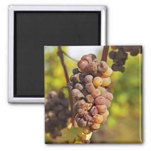 A moldy Semillon grape bunch at Ch Raymond Lafon 2 Inch Square Magnet