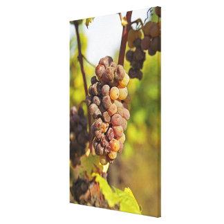 A moldy Semillon grape bunch at Ch Raymond Lafon Canvas Print