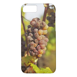 A moldy Semillon grape bunch at Ch Raymond Lafon iPhone 8/7 Case