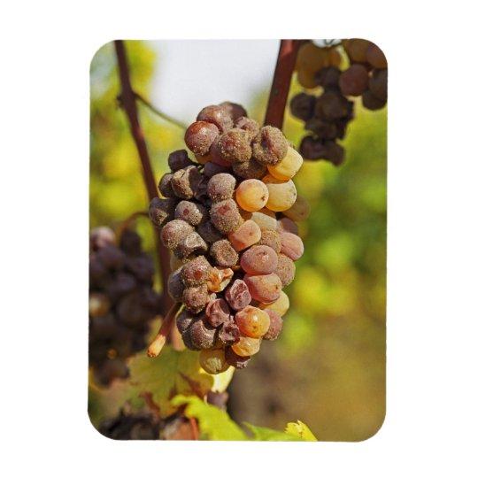 A moldy Semillon grape bunch at Ch Raymond Lafon Magnet