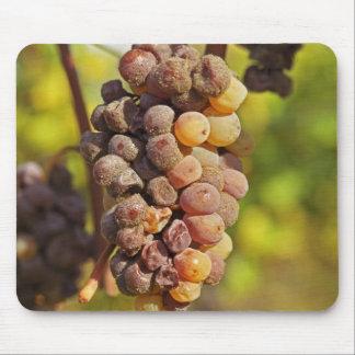 A moldy Semillon grape bunch at Ch Raymond Lafon Mouse Pad