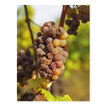 A moldy Semillon grape bunch at Ch Raymond Lafon Postcard