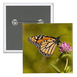A monarch butterfly, Danaus plexippus, on clover Button
