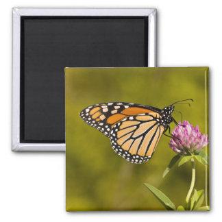 A monarch butterfly, Danaus plexippus, on clover 2 Inch Square Magnet
