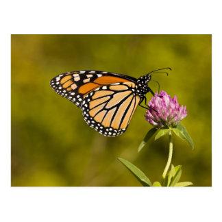 A monarch butterfly, Danaus plexippus, on clover Postcard