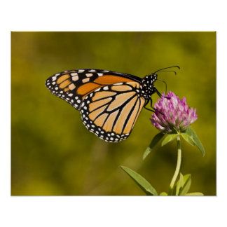 A monarch butterfly, Danaus plexippus, on clover Poster