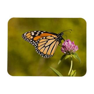 A monarch butterfly, Danaus plexippus, on clover Rectangular Photo Magnet