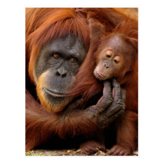 A mother and baby orangutan share a hug. postcard