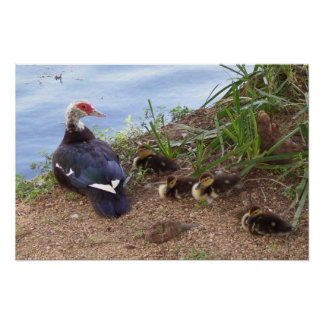 A Mother Duck & Her Ducklings Poster