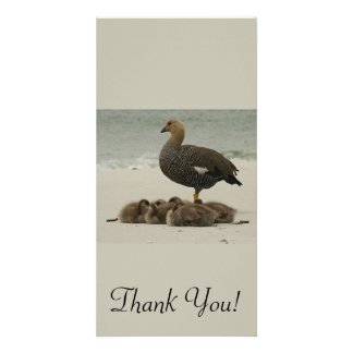 A Mother Magellan Goose With Her Young Picture Card