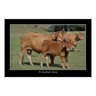 A mother's love, cow licking her calf poster