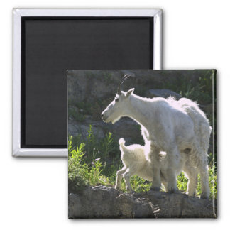 A mountain goat nanny nurses her kid in magnet