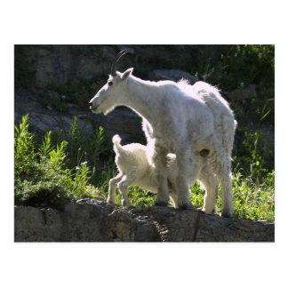 A mountain goat nanny nurses her kid in postcard