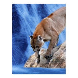 A mountain lion at the waterfall postcard