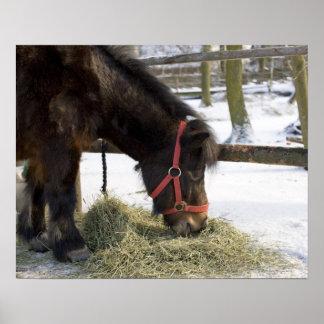 A native horse originally from Gotland where Poster