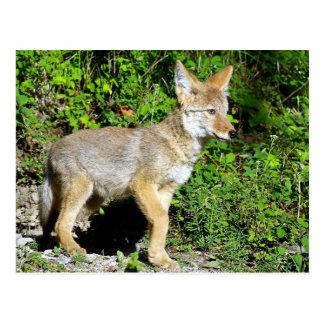 A Nervous Coyote Pup Postcard