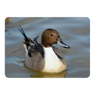A Nice, Clear Shot Of A Fine Northern Pintail Card